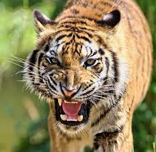 images of tigers. Modren Tigers See Me Closer With In Images Of Tigers E