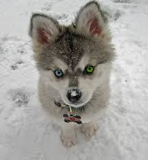 baby husky in snow.  Husky Awww This Husky Puppy Is So Cute And Adorable I Want To Pick It Up  Hug Or At Least Pet It The Puppyu0027s Eyes Are Beautiful In Baby Husky Snow