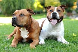 A pit bull mixed with mastiff breeds, german shepherds, dobermans, rottweilers, and similar pit bull mixes should be held to the same behavioral and temperamental standards as purebred pit only purebred american pit bull terriers can rightly be called pit bulls. Get To Know The American Staffordshire Terrier Temperament