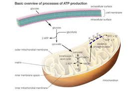 10 Steps Of Glycolysis