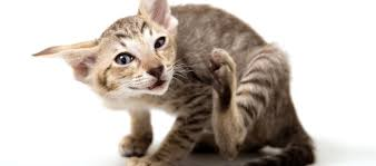 Allergies in Cats: How To Tell   Learn more on Litter-Robot Blog