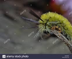Light Yellow Fuzzy Caterpillar Fuzzy Yellow Moth Stock Photos Fuzzy Yellow Moth Stock