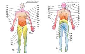 Nerve Root Dermatome Chart Pin On Medical