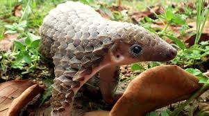 pangolins may be almost extinct but they are still being hunted