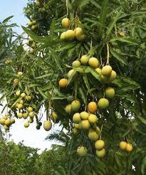 Gardening Tips For Citrus Trees  Kerala Latest News  Kerala Kerala Fruit Trees