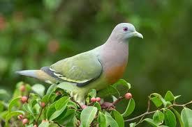Mourning Dove Age Chart Columbidae Wikipedia