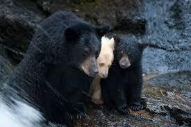 photo essay exploring the great bear wild university of photo essay exploring the great bear wild ldquo