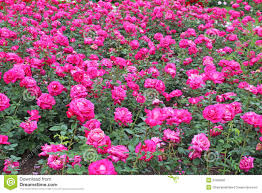 Small Picture Beautiful Rose Garden Wallpaper Design Home Design Ideas