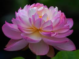 Image result for images of lotus flower