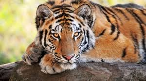 tiger wallpaper high resolution. Perfect Resolution Preview Wallpaper Tiger Stone Lying Big Cats Predator Intended Tiger Wallpaper High Resolution L