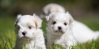 maltese dog. maltese puppy picture dog