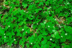 wild strawberry fragaria virginiana make a great native groundcover for sun