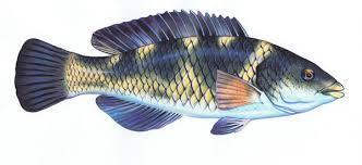 Wrasse Parrot Fish All Species Except Blue Groper Vfa
