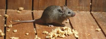 When does a mouse mature