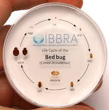 life cycle of a bed bug