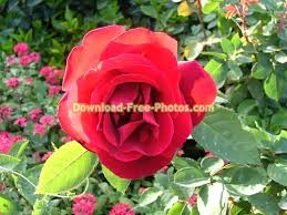 red rose flower free stock photo images