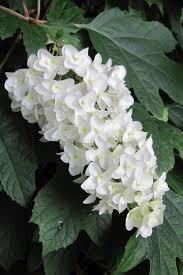 snowflake oakleaf hydrangea free