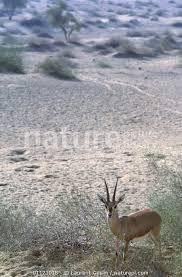 Nature Picture Library Indian gazelle (Gazella bennetti) Thar desert,  Rajasthan, India - Laurent Geslin