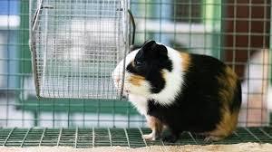 the best guinea pig cage chicago tribune