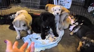 corgi lab mix puppies. Wonderful Mix Rescue Pups  Labcorgihound Mix 8 Weeks Old 12316 And Corgi Lab Mix Puppies