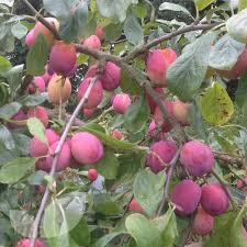 Plum Tree Species  An OverviewPlum Fruit Tree Varieties