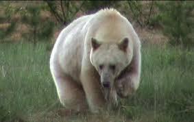 spirit bear facts
