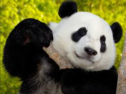 animal. Perfect Animal Giant Panda Holding Up A Thick Stick Of Bamboo And Animal