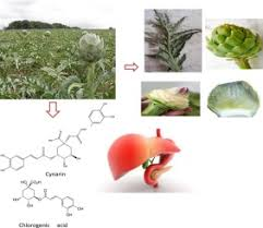 Artichoke Edible Parts Are Hepatoprotective As Commercial