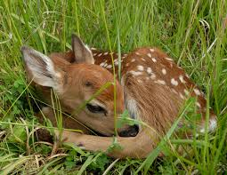 deer chesapeake ohio c national historical park u s national park service