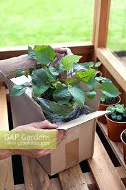 unng and potting mail order dahlia plants best catalog