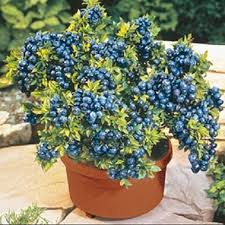 Image result for lowbush blueberry