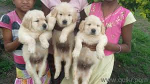 dogs and puppies for in pune