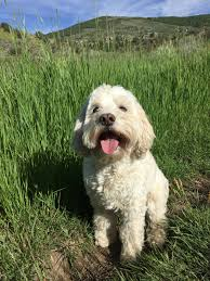 spring small flowers vertebrate funny domestic adorable dog breed lhasa apso pup bichon frise miniature poodle apoo tibetan terrier