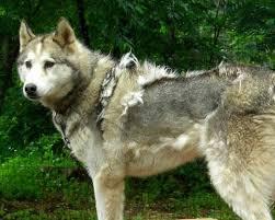 husky coat blow