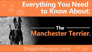 Manchester Terrier Size Chart The Manchester Terrier A Complete Guide Doggie Designer