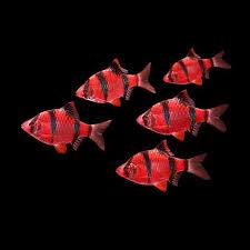 petco glofish.  Petco 5Pack Starfire Red Barb GloFish For Petco Glofish H