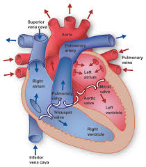 circulatory system example mindmeister image not available