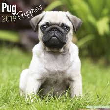 pug puppies. Delighful Puppies Throughout Pug Puppies