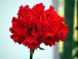 Red Flower Wallpaper Red Carnation Flower Wallpaper Wallpaper Tadka