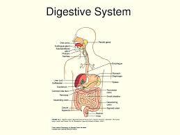 diagram digestive system labeled diagram database wiring diagram digestive system labeled