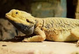 How To Care For An Old Bearded Dragon Senior Care Care