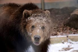 bears orphaned in wild toledo zoo home is just right the toledo zoo enlarge middot n4montana 3