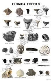 2019 Shark Yahoo Results Search Shark Teeth Hunting In Image Florida - Identify Crafts Fossil