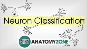 Types Of Neurons By Structure Neuroanatomy Basics Anatomy