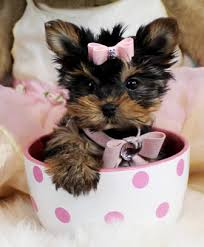 teacup puppy yorkie. Delighful Puppy We Started To Train Some Of Our Teacup Yorkies For Sale Yorkie  Puppies Sale So Be Sure Guy A Crib And We Sell Them Here Inside Teacup Puppy Yorkie E