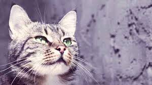 Antibiotics for Cats - PetCareRx