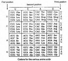 Universal Genetic Code Chart Important Questions For Cbse Class 12 Biology Genetic Code