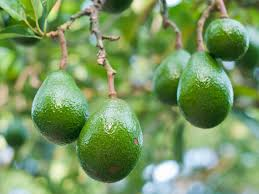 Avocados Latest News Breaking Stories And Comment The