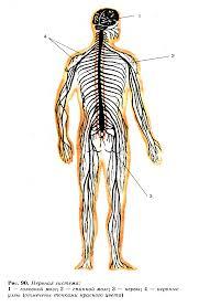 Строение нервной системы Спинной мозг Гипермаркет знаний Нервная система