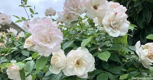 white roses varieties meaning and